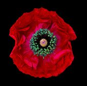 Red Poppy Flower On Black Background Macro poster