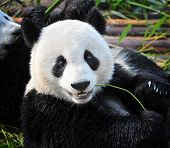 Close-up Of Hungry Giant Panda Bear Eating poster