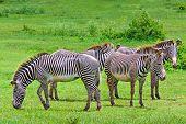 stock photo of harem  - Harem of wild zebras in a tropical savanna - JPG