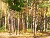 Pine Tree Trunks With Sunbeams In The Forest, Summertime poster