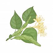 Gorgeous Botanical Drawing Of Linden Sprig With Leaves And Tender Blooming Flowers. Gorgeous Plant H poster