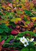 Strawberry Blooms In Late Autumn.strawberry Blooms In A Garden With Colored Leaves poster