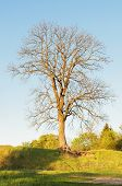 Lonely, Bare Oak Tree On High Glade. Late Spring Season. There Are Approximately 600 Extant Species  poster