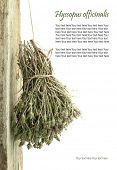 stock photo of hyssop  - Dried hyssop hanging from a rope with copy space - JPG