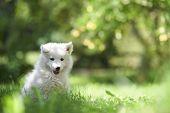 Постер, плакат: Портрет самодийский щенок