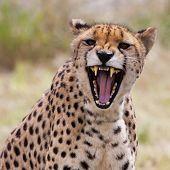 picture of cheetah  - Very closeup of cheetah - JPG