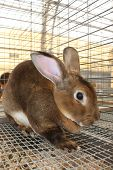 stock photo of rabbit hutch  - A brown rabbit is caged and on display during the county fair - JPG