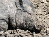 pic of pot bellied pig  - Close up of a young Vietnamese pot - JPG