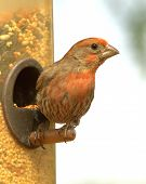 image of crossbill  - A Red Crossbill looks for danger perched at the bird feeder - JPG