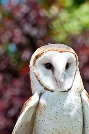 stock photo of banshee  - A Close up of a Barn Owl - JPG