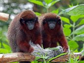 picture of titi monkey  - Two Red Titi monkeys sitting on a branch with a green background - JPG