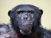 foto of chimp  - A portrait of a senior male chimpanzee - JPG