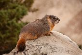 pic of marmot  - A Yellowbelly Marmot sits on a rock to get a good view in the Wyoming mountains - JPG