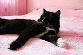 pic of prone  - black cat lying prone on the pink matrimonial bed