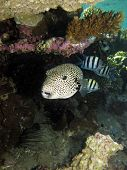 picture of damselfish  - A giant puffer shares its shelter under table coral with sergeant major damselfish - JPG