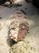 Unusual crocodilefish