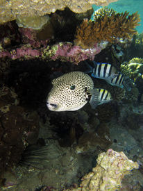 picture of sergeant major  - A giant puffer shares its shelter under table coral with sergeant major damselfish - JPG