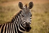 image of grassland  - zebra staring at viewer head on with grassland background - JPG