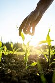 stock photo of morning  - Male hand reaching down to a young maize plant growing in an agricultural field backlit by a bright early morning sunlight with sun flare around the plant and hand.
