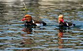 stock photo of crested duck  - Two male red - JPG