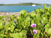 picture of ipomoea  - Beach Morning Glory (Ipomoea) flower.Kood island Thailand