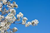 White Pear Blossoms On A Blue Sky