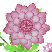 stock photo of chrysanthemum  - Chrysanthemums - JPG