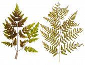 stock photo of fern  - Set of wild dry leaf fern pressed isolated - JPG