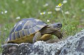 stock photo of spurs  - Spur thighed turtle  - JPG