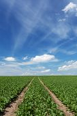picture of sugar industry  - Furrows in a Field with sugar beets - JPG