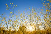 picture of mustard seeds  - Yellow flowers of mustard plants against a blue sky with the sun rising above the horizon - JPG