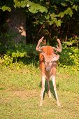 picture of black tail deer  - Whitetail buck looking around before leaving the forest edge - JPG