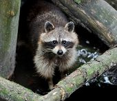 image of raccoon  - Raccoon in the forest in the natural environment - JPG