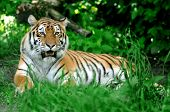 foto of tigress  - Amur Tigers on a geass in summer day - JPG