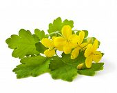 picture of celandine  - Celandine flowers isolated on a white background - JPG