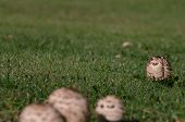 picture of fairy-mushroom  - Group of mushrooms on dew covered grass - JPG
