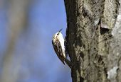 stock photo of pecker  - Eurasian Treecreeper  - JPG