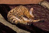 picture of bengal cat  - Cat Bengal breed - JPG