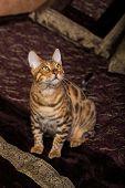 foto of bengal cat  - Cat Bengal breed - JPG