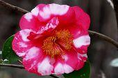 picture of garden eden  - Soft focus view of beautiful camellia at Eden Gardens State Park in Florida - JPG