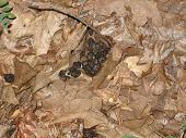 foto of scat  - Deer scat in a pile of leaves in the woods - JPG