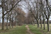 picture of row trees  - Rows of trees and trail through the trees - JPG
