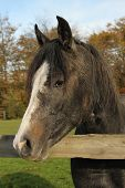 pic of wooden horse  - Young dark gray horse or pony with a white blaze looking over a wooden fence - JPG