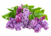 picture of violet flower  - Bunch  of lilac flowers isolated on white background - JPG