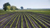 foto of beet  - Field sown of sugar beet - JPG