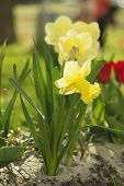 picture of daffodils  - Beautiful yellow daffodils  in the garden at spring time - JPG