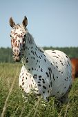 foto of breed horse  - Portrait of knabstrupper breed horse  - JPG