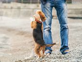 picture of puppy beagle  - Little beagle puppy ask to play with him - JPG
