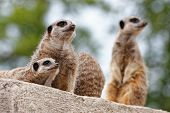 stock photo of stare  - A meerkat family standing and staring in the same direction - JPG
