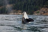 picture of orca  - A orca whale in the ocean, taken during a whale watching trip
